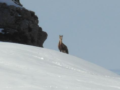 El rebeco, rey de estas montañas, np puede evitar su curiosidad.
